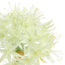 Allium kremhvit L76cm