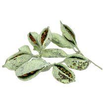 Brachyciton grønn frostet 500g
