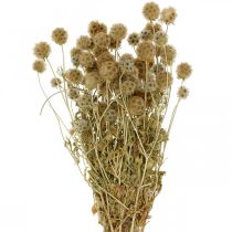 Scabiosa tørket natur Scabiosa tørkede blomster H50cm 100g