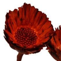 Compacta rosett oransje (37) 40stk