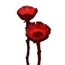 Compacta rosett rød (36) 40stk