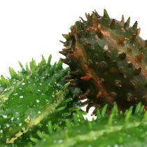 Prickly pear 5cm grønnbrun 6stk
