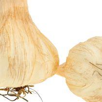 Hvitløk 7,5-11 cm krem 5stk