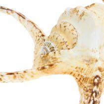 Lambis snegl naturlig 22cm