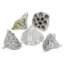 Lotos medium naturlig frostet 50p