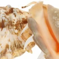 Lambis sjøsnegl naturlig 14cm 10stk