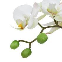 Phalaenopsis krem i keramisk gryte 33cm