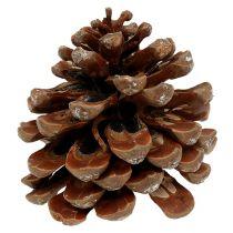Pinus Pinea medium 10 / 14cm natur 50p