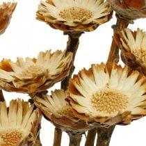 Protea Compacta Rosette Natural Dryed Flower Sugar Bush 8stk