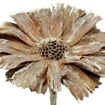 Protea rosett 8-9cm hvitvasket 25stk