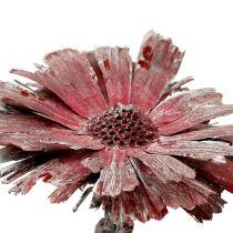 Protea rosettlyng frostet Ø8-9cm 25stk