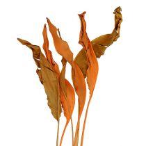 Strelitzia etterlater oransje 120cm 20stk