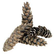 Strobus kjegler 15cm - 20cm hvitvasket 50stk
