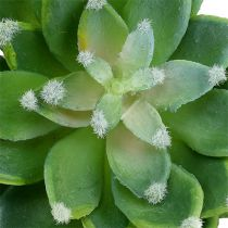 Sukkulent stein rose grønn Ø10cm H11cm 3stk