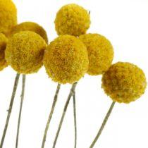 Tørket blomst Craspedia gul tørket trommestokkbunke