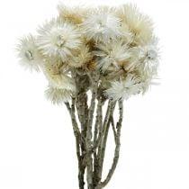 Tørkede blomster Lue blomster naturlige hvite, evige blomster, tørkede blomster bukett H33cm