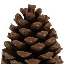 Kjegler Pinus Maritima 10cm - 15cm naturlige 3stk