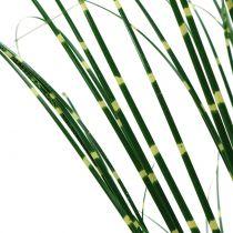 Zebragress i en grytegrønn 60cm
