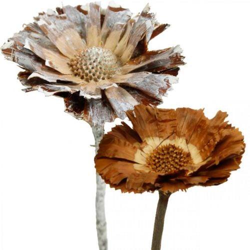 Exotic Mix Protea Rosette Natural, Hvitvasket Tørket Blomst 10stk