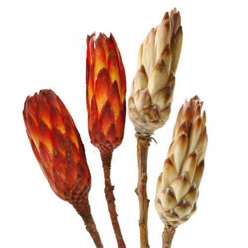 Protea Mix, Tørkede blomster responderer naturlig / rød 13stk