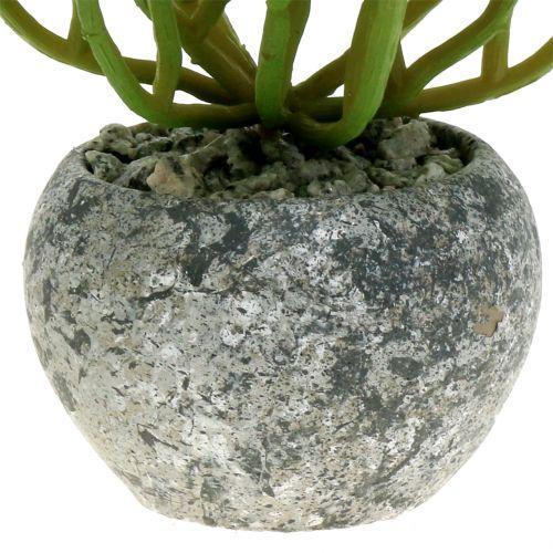Sedum sedum plante i en potte på 15 cm