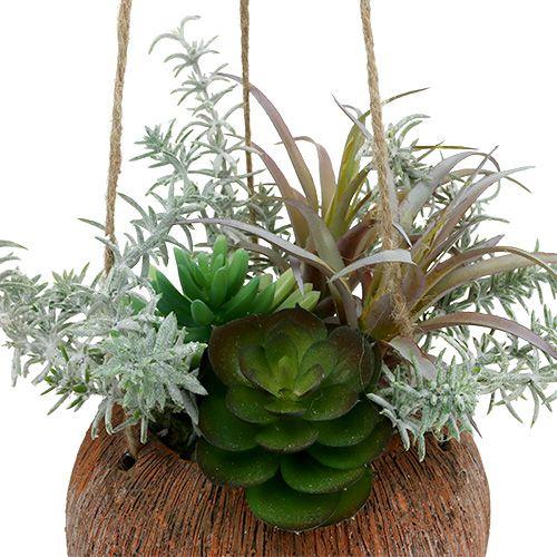 Sukkulenter grønne i en gryte for oppheng 24cm