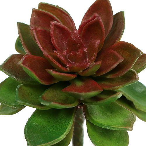 Sukkulent steinrosa 6cm grønn 6stk