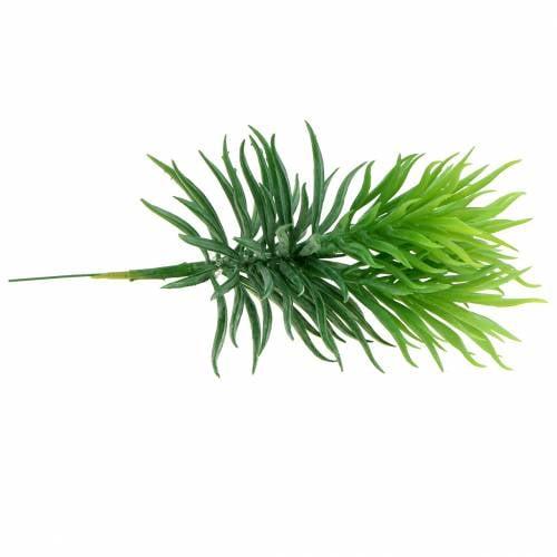 Sukkulent Senecio Ragwort Green 20cm